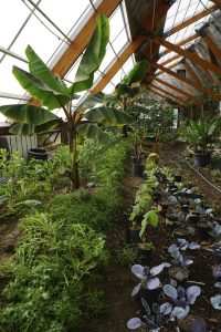 Forest garden greenhouse with bananas at the Golden Hoof Farm, Colorado