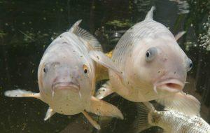 Fish in aquaponic greenhouse