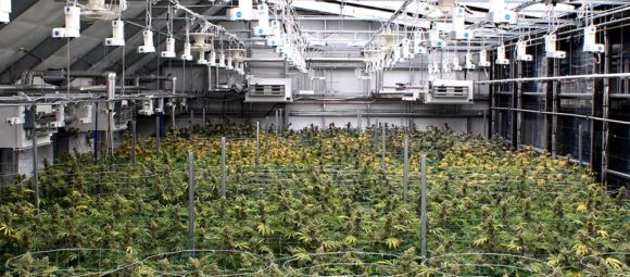 inside the cannabis greenhouse