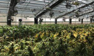 light dep cannabis greenhouse