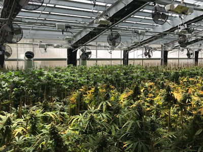 light dep cannabis greenhouse