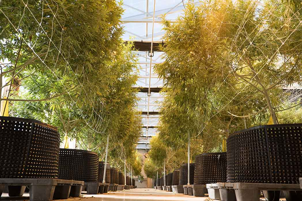 Hemp Greenhouse