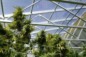 Cannabis and glazing