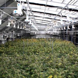 hybrid cannabis greenhouse
