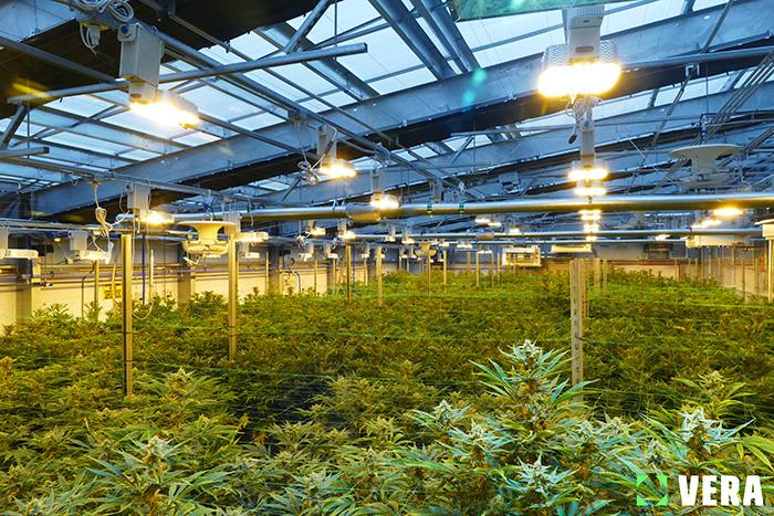 HPS_cannabis