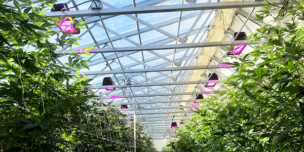 LED_cannabis