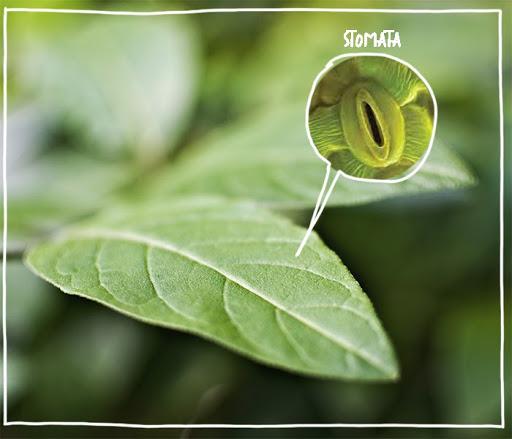 stomata on a plant