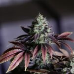 highest quality cannabis