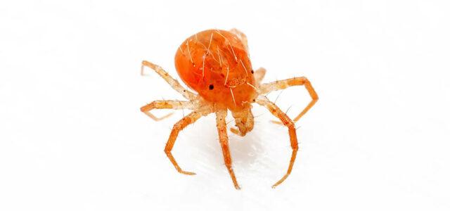 Integrated Pest Management- whirligig mite